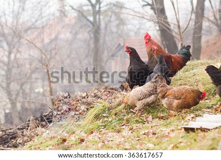 Rooster and Chickens. Free Range Cock and Hens - stock photo