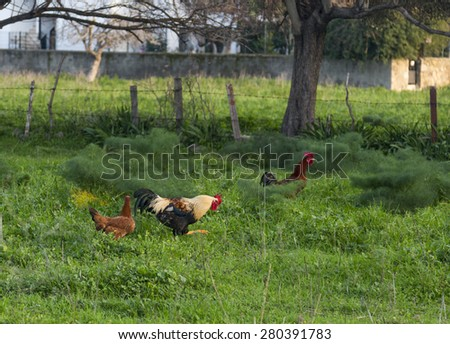 Rooster and chickens in a farm - stock photo