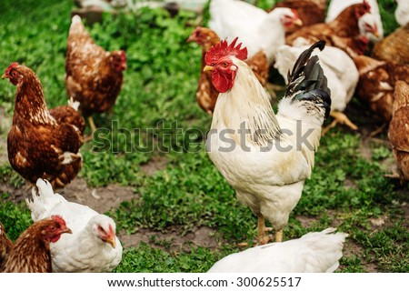 Rooster and chickens on traditional free range poultry farm. - stock photo