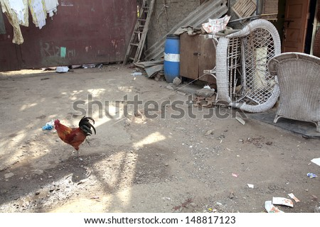 Rooster bound to the chair, indian village - stock photo
