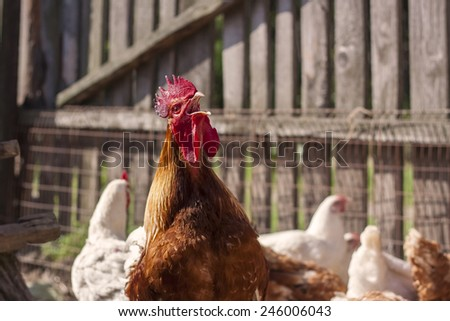 Rooster crowing amongst chickens - stock photo