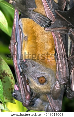 Roosting Straw Coloured Fruit Bat hanging from a branch/Fruit Bat Roosting/Straw Coloured Fruit Bat (Eidolon Helvum) - stock photo