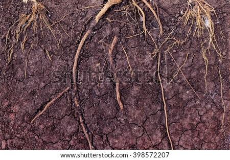 Root in soil - stock photo