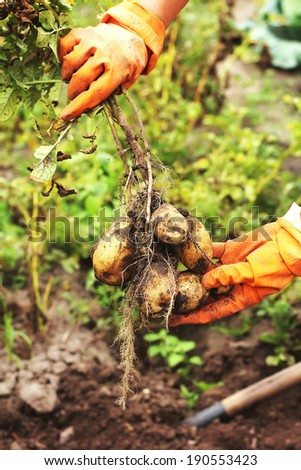 Root of new raw potato in hands - stock photo