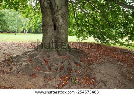 root of old beech tree - stock photo