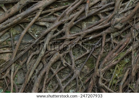 Root of the old tree on the wall - stock photo