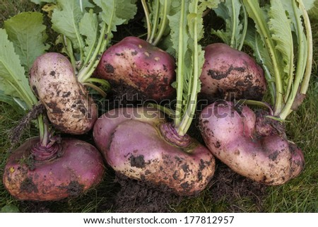 Root vegetables - stock photo