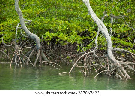 Roots and branches,mangrove forest of Thailand - stock photo