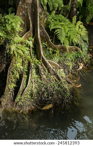 roots of big big tree in the water with beautiful sunlight shining from side - stock photo
