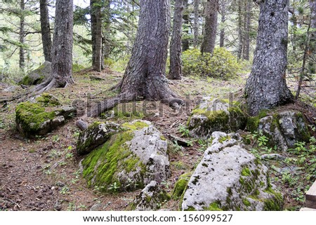 Roots of trees and green mossy rocks of a forest - stock photo