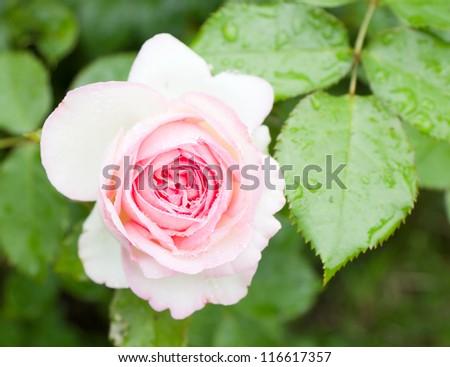 rose after rain - stock photo