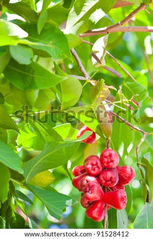 Rose apple - stock photo