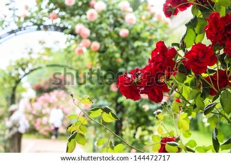 Rose archway in Jardin de Plantes, Paris, France - stock photo