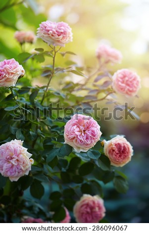 rose as a natural and holidays background - stock photo