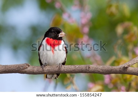 Rose-breasted Grosbeak perched on the branch of a redbud tree. The black, red and white feathers explode against the pastel colors of the pink redbud flowers, green leaves and blue sky. - stock photo