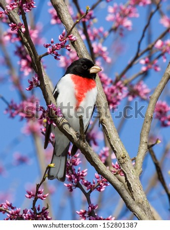 rose-breasted grosbeak perches in a redbud tree.  - stock photo