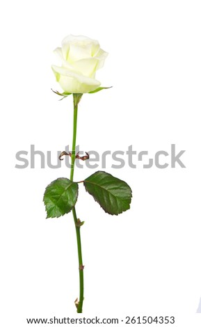 rose bud isolated on white background  - stock photo