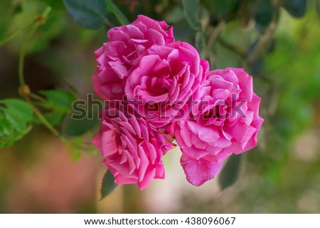 Rose buds in the garden over natural background - stock photo