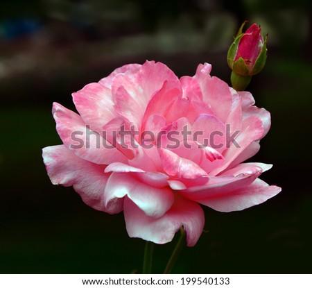 rose bush a black background - stock photo