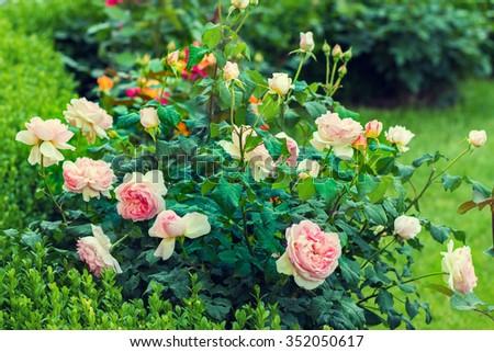 Rose bush in the garden - stock photo