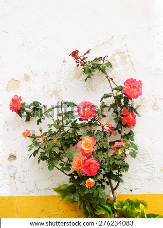 Rose bush near the wall of typical Portuguese rural house (white wall and yellow line). - stock photo