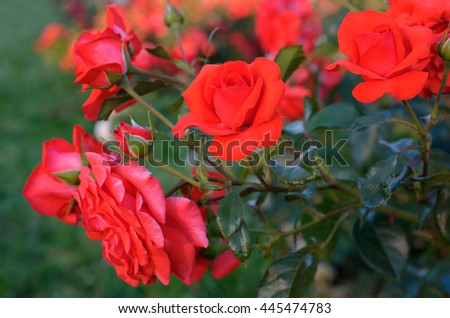 Rose bush with lots of pink roses in bloom. - stock photo