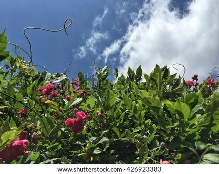 rose bushes against clue sky and clouds - stock photo