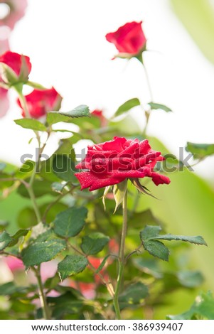 Rose bushes are blooming in the garden. - stock photo