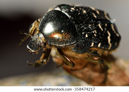 Rose chafer (Cetonia aurata) beetle close-up, with good view of hairs and eye. An impressive iridescent green and white beetle in the family Scarabaeidae  - stock photo