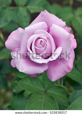 Rose: Charles de Gaulle - stock photo