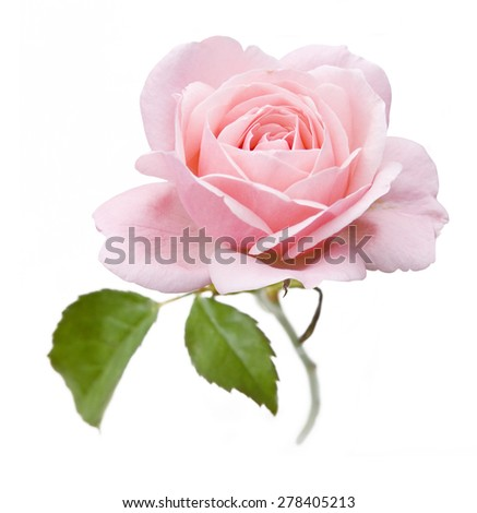 Rose closeup isolated on white background - stock photo
