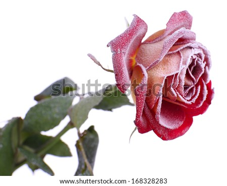 Rose covered with hoarfrost isolated on white - stock photo