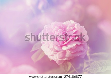 Rose flower in sunny day. Pink pastel colors. Springtime. - stock photo