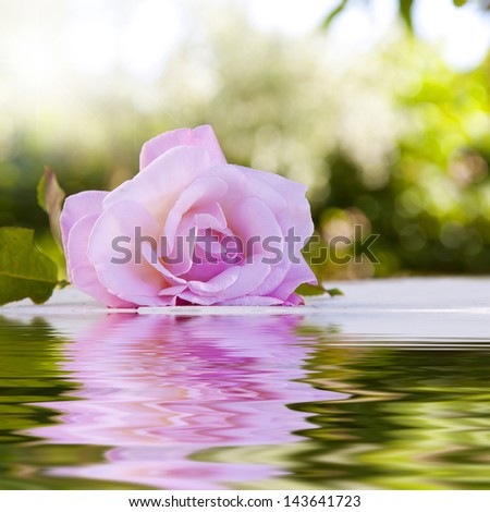 rose flower with reflection - stock photo