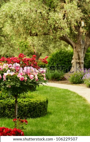 Rose flowers and olive tree by park path - stock photo