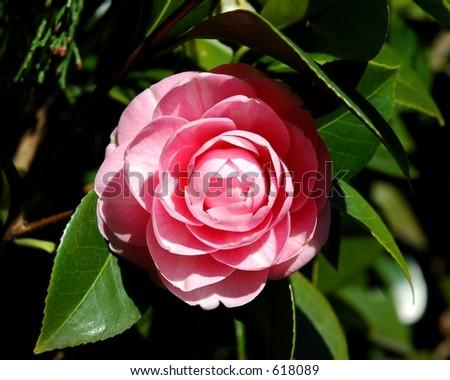 Rose Garden, Portland - stock photo
