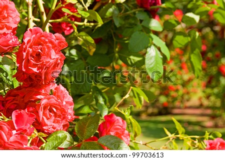 Rose garden, red roses in bloom. park with romantic flowers in arch or arbour - stock photo