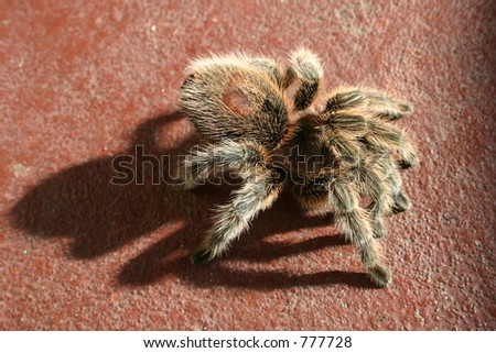 Rose Hair Tarantula - stock photo