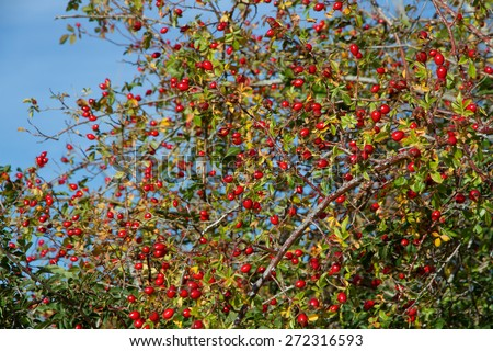 Rose hips and wild fruit - Hips. Berry red fruit of wild rose (Rosa canina) in autumn  - stock photo