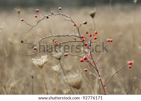 rose hips, autumnal meadow - stock photo