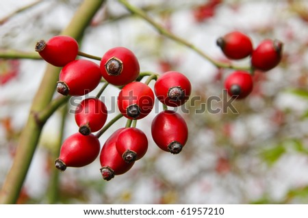 Rose hips from the bushes. - stock photo