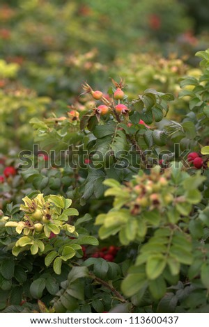 Rose hips on rose bush - stock photo
