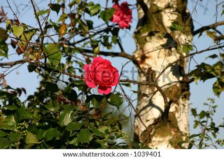 rose in the garden - stock photo