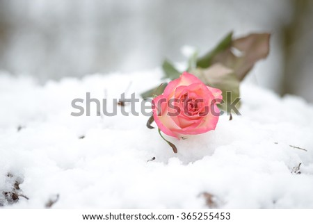 Rose in winter forest  in the snow - stock photo