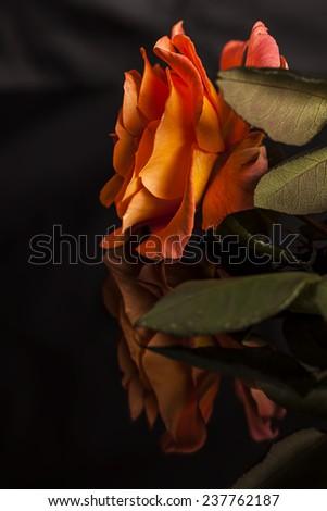 Rose isolated on reflective black background - stock photo