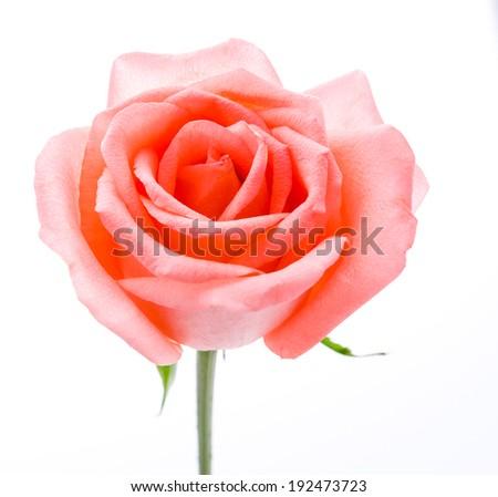 Rose isolated on white - stock photo