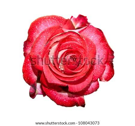 rose isolated on white background - stock photo