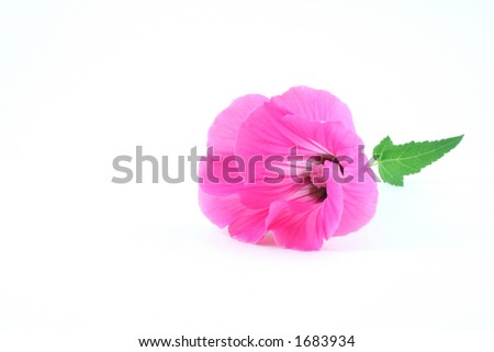 Rose mallow (Lavatera trimestris) bloom isolated on white background - stock photo