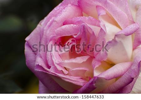 Rose petals with dew drops, Kolkata, West Bengal, India - stock photo