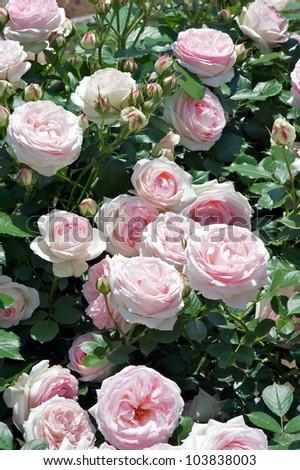 Rose: Pierre de Ronsard; Eden Rose - stock photo